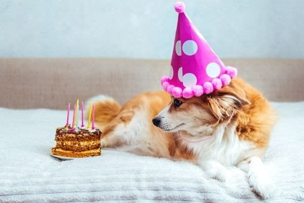 Dog wearing birthday hat in front of homemade dog treat.